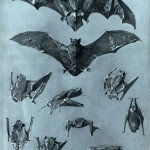 Animal - Bat - Flying - French - Gothic