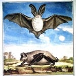 Animal - Bat - French