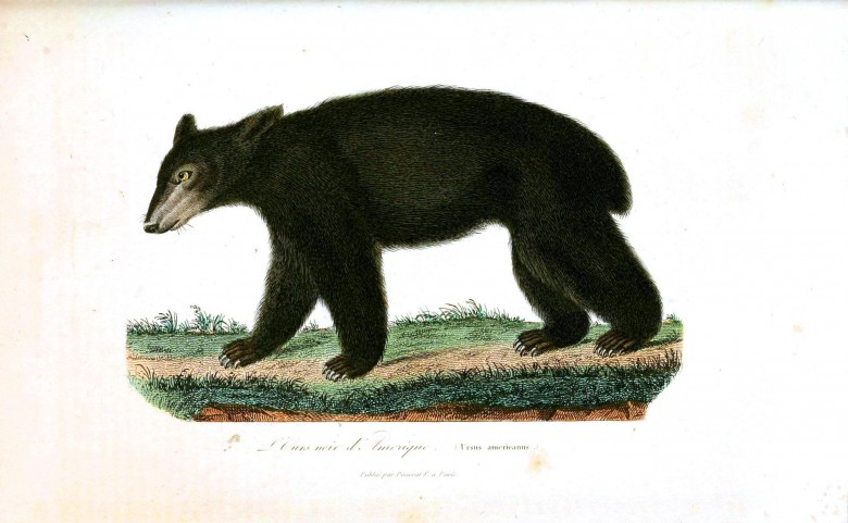 Animal -  Bear - Woodland - Buffon - Bear - Black bear