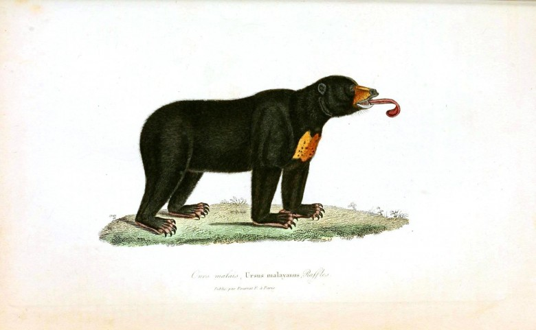 Animal -  Bear - Woodland - Buffon - Bear - Brown Bear