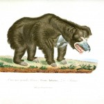 Animal -  Bear - Woodland - Buffon - Bear - Grizzley bear