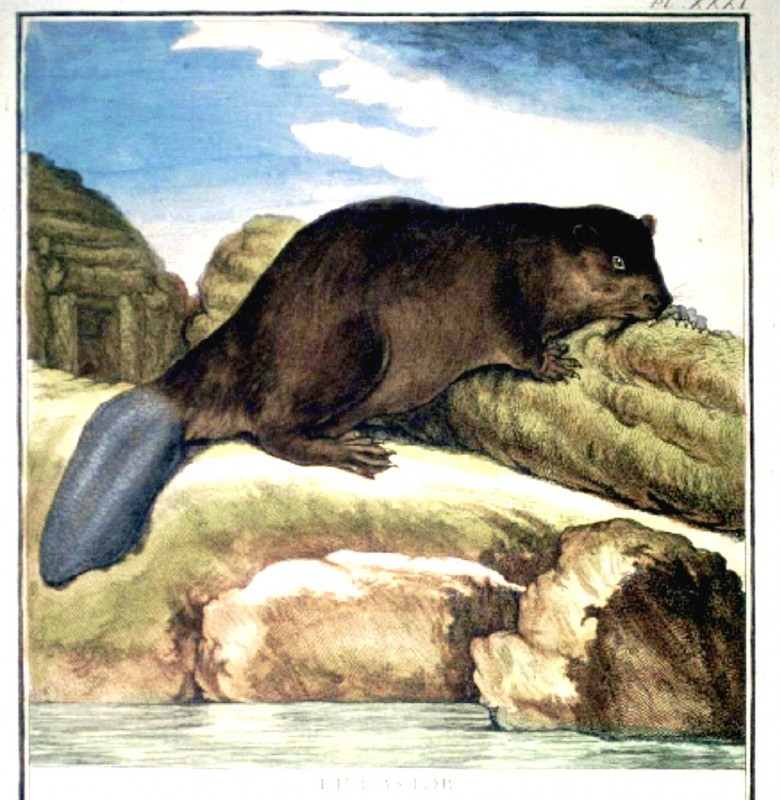 Animal - Beaver  - French