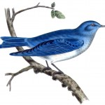 Animal - Bird - Arctic blue bird