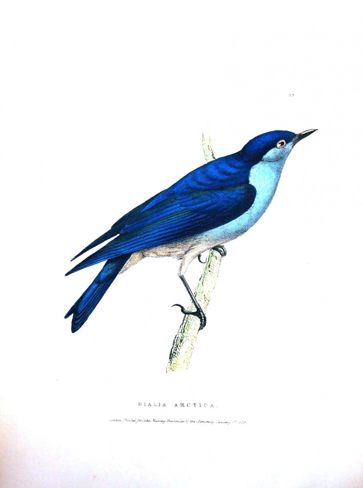 Animal - Bird - Arctic blue bird 2