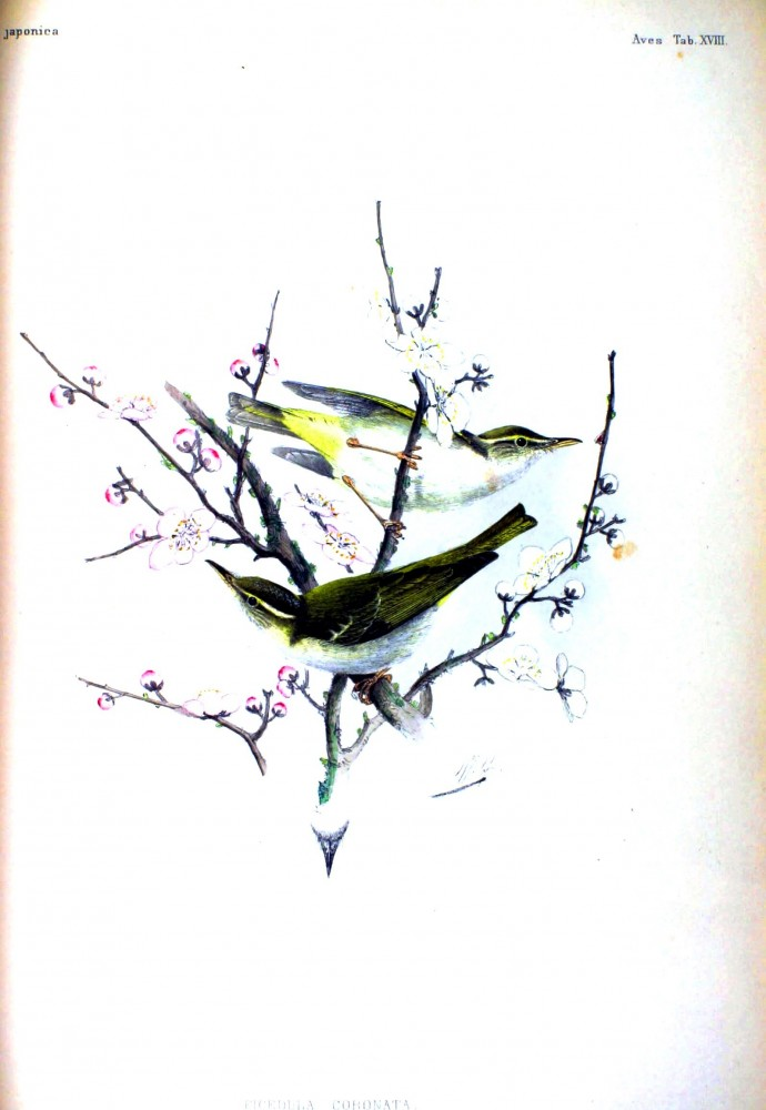 Animal - Bird - Asian - Songbirds in cherry blossoms