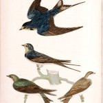 Barn Swallow (1814) Wilson, Natural History of Birds of the United States