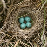 Animal - Bird - Bird nest - Photo - Clay-colored Sparrow USGS
