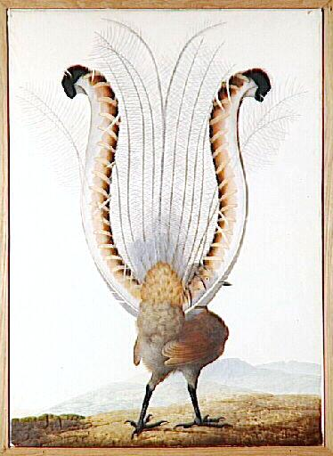 Animal - Bird - Bird with tail feathers like lyre