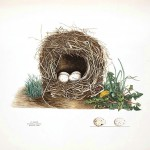 Animal - Bird - Bird's nest - (18)