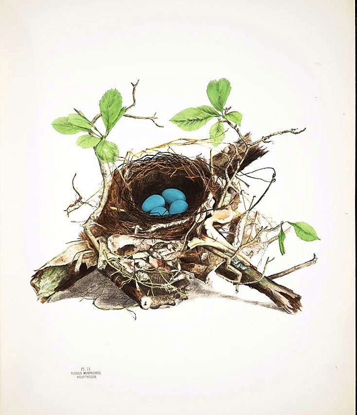 Animal - Bird - Bird's nest - (2)