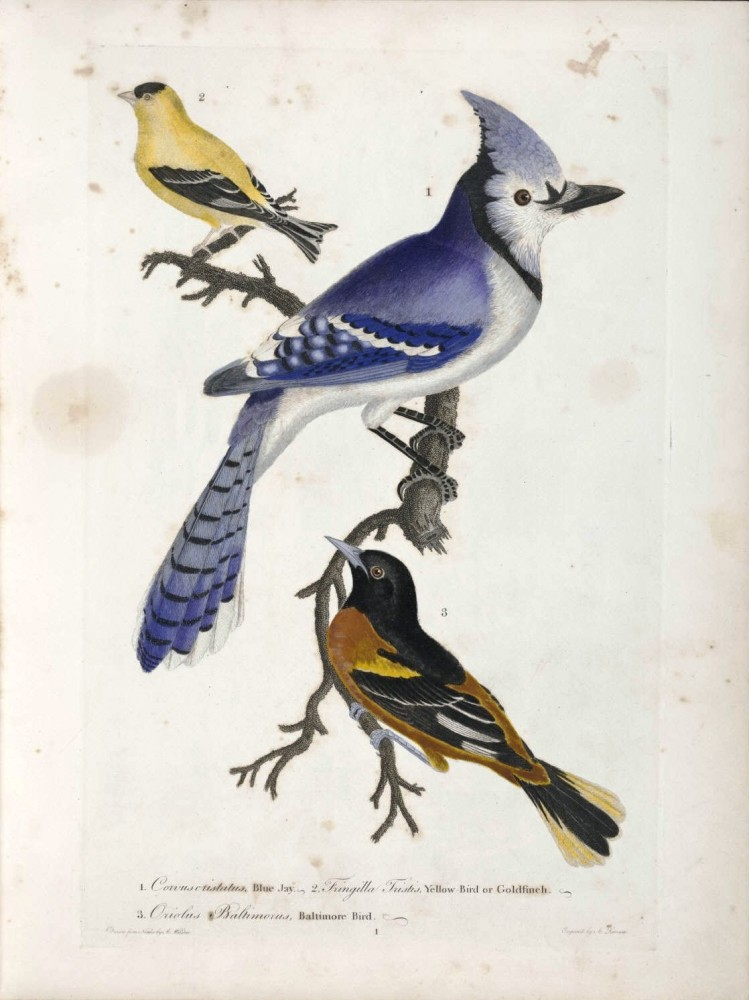 Animal - Bird - Blue Jay - Baltimore oriole; blue jay