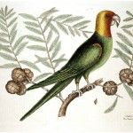 Animal - Bird - Catesby 10 The Parrot of Carolina