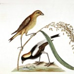 Animal - Bird - Catesby 13 Rice-bird
