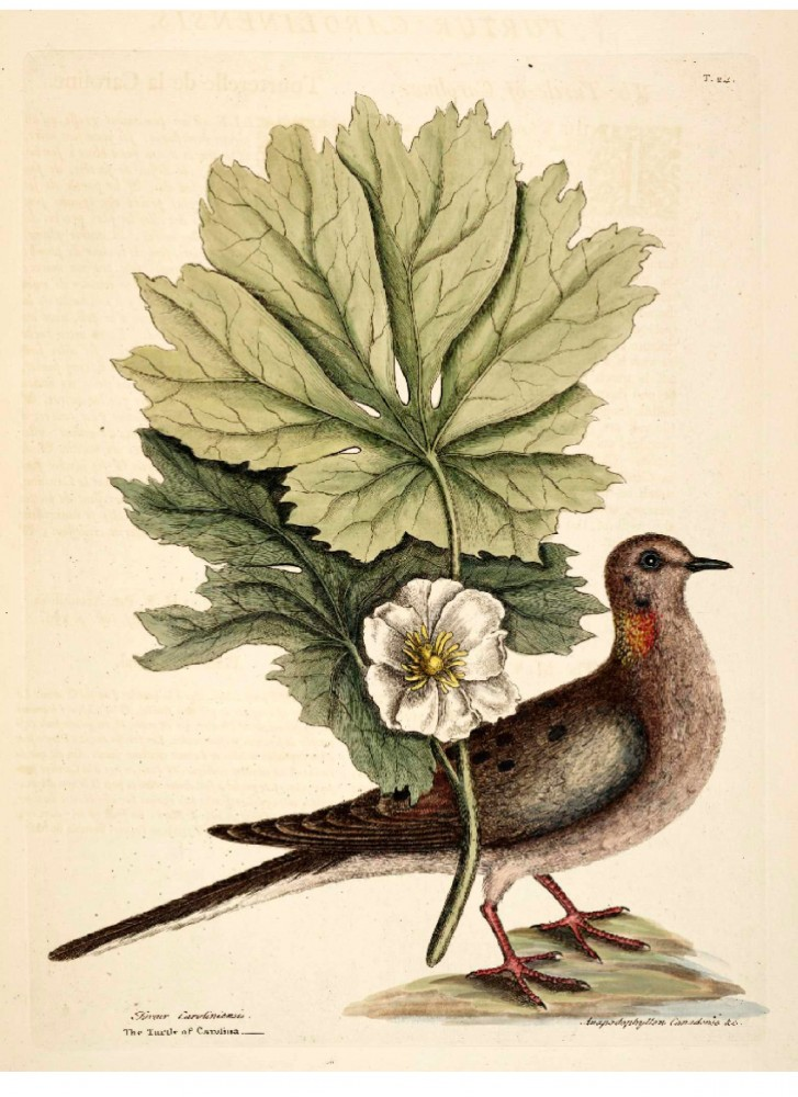 Animal - Bird - Catesby 23 Turtle (dove) of Carolina