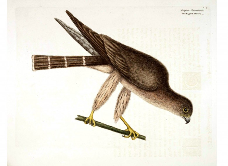Animal -  Bird - Catesby 3 Pigeon Hawk