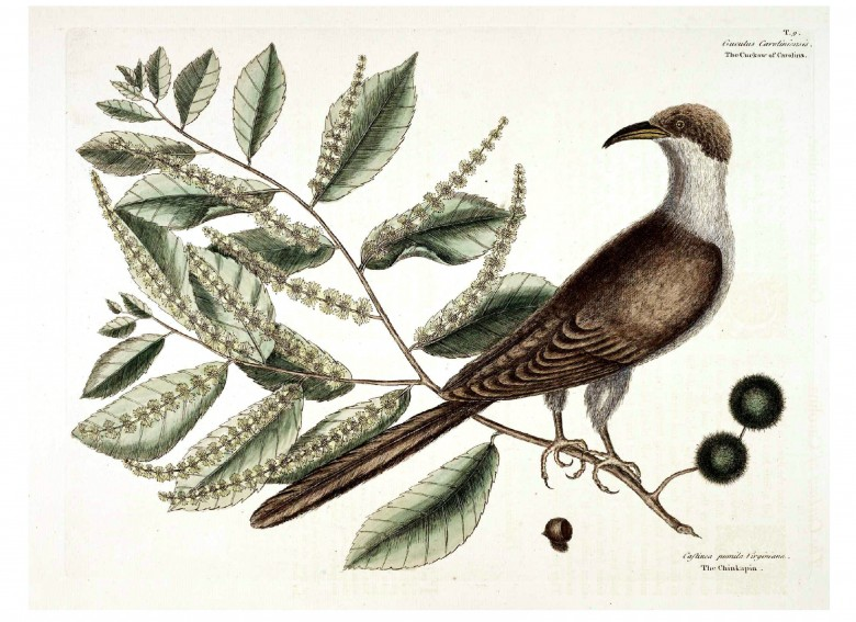 Animal - Bird - Catesby 8 The Cuckoo of Carolina