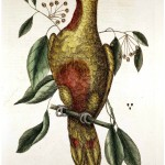 Animal - Bird - Catesby 9 The Parrot of Paradise