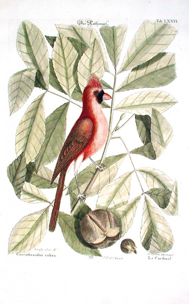 Animal - Bird - Catesby - Cardinal