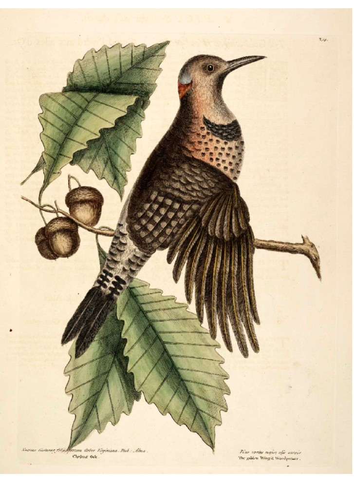 Animal - Bird - Catesby - Golden Winged Woodpecker