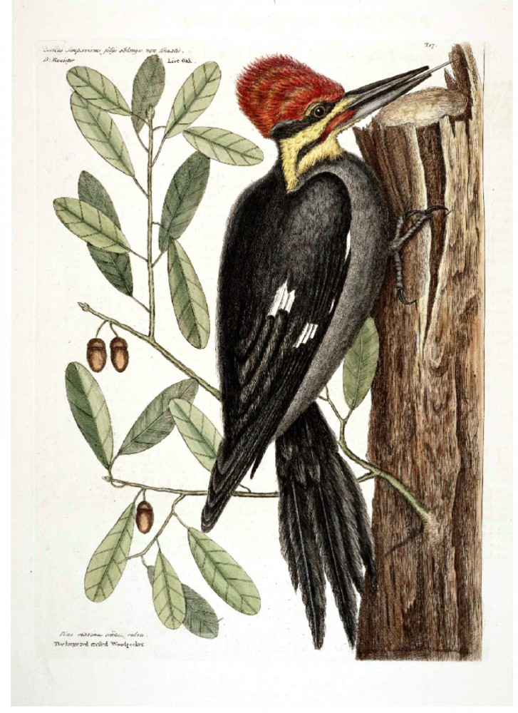 Animal - Bird - Catesby - Large Red Crested Woodpecker