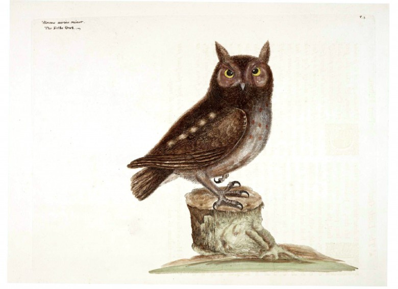 Animal - Bird - Catesby - Little Owl