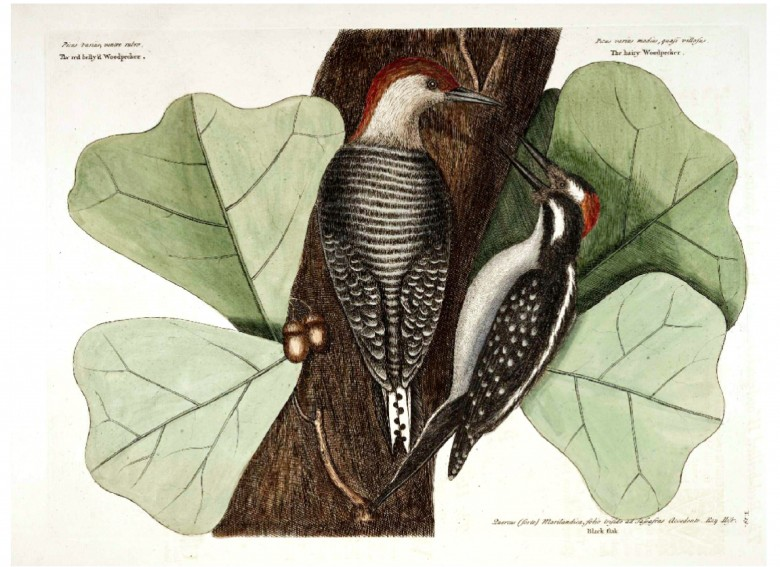 Animal - Bird - Catesby - Red Bellied and Hairy Woodpeckers