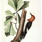 Animal - Bird - Catesby - Red Headed Woodpeckers