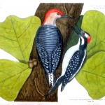 Animal - Bird - Catesby - Redheaded Woodpecker