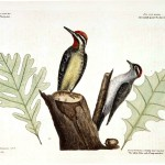 Animal - Bird - Catesby - Small Spotted and Yellow Bellied Woodpeckers