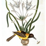 Animal - Bird - Catesby - Yellow05
