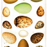 Animal - Bird - Eggs - Educational Plate - American game birds