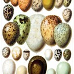 Animal - Bird - Eggs - Educational Plate - Duck eggs
