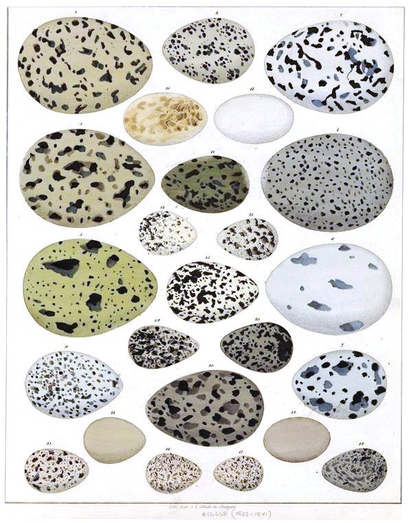 Animal - Bird - Eggs - Educational Plate - Eggs with spots