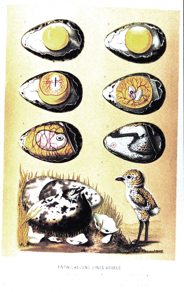 Animal - Bird - Eggs - Educational Plate - Embryology educational plate (2)