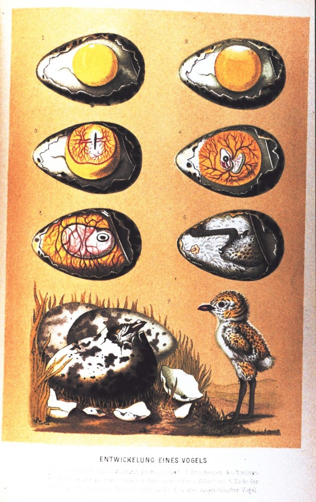 Animal - Bird - Eggs - Educational Plate - Embryology educational plate
