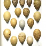 Animal - Bird - Eggs - Educational Plate - Pheasant eggs
