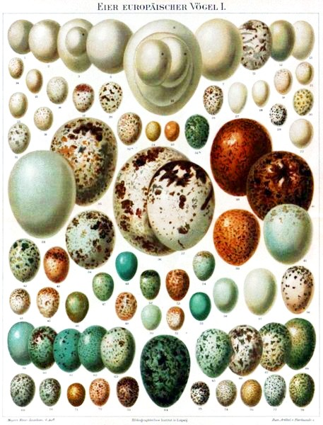 Animal - Bird - Eggs - Educational plate (2)