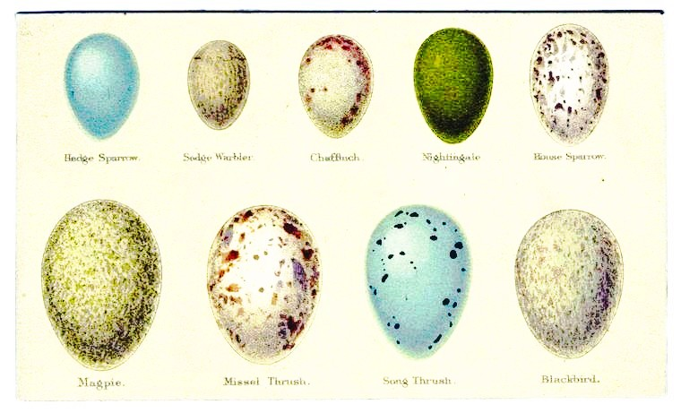 Animal - Bird - Eggs - Educational plate