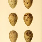 Animal - Bird - Eggs -  Eggs of British Birds 1895