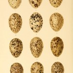Animal - Bird - Eggs - Eggs of British Birds00 (11)