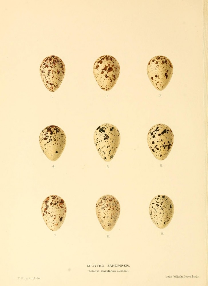 Animal - Bird - Eggs - Eggs of British Birds00 (12)