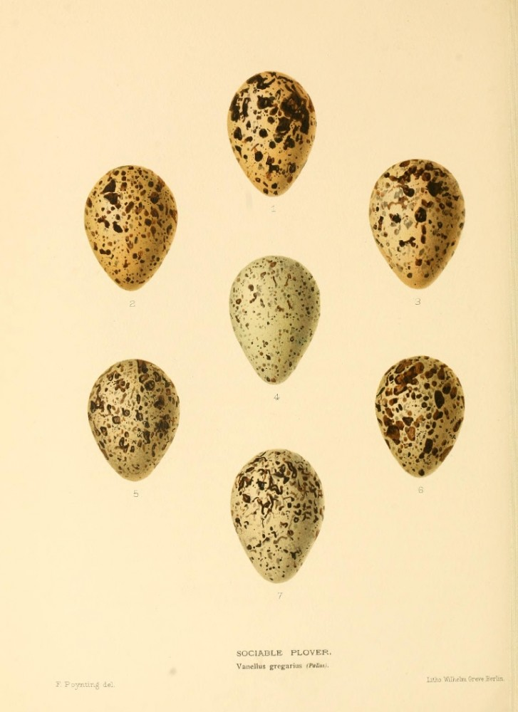 Animal - Bird - Eggs - Eggs of British Birds00 (13)