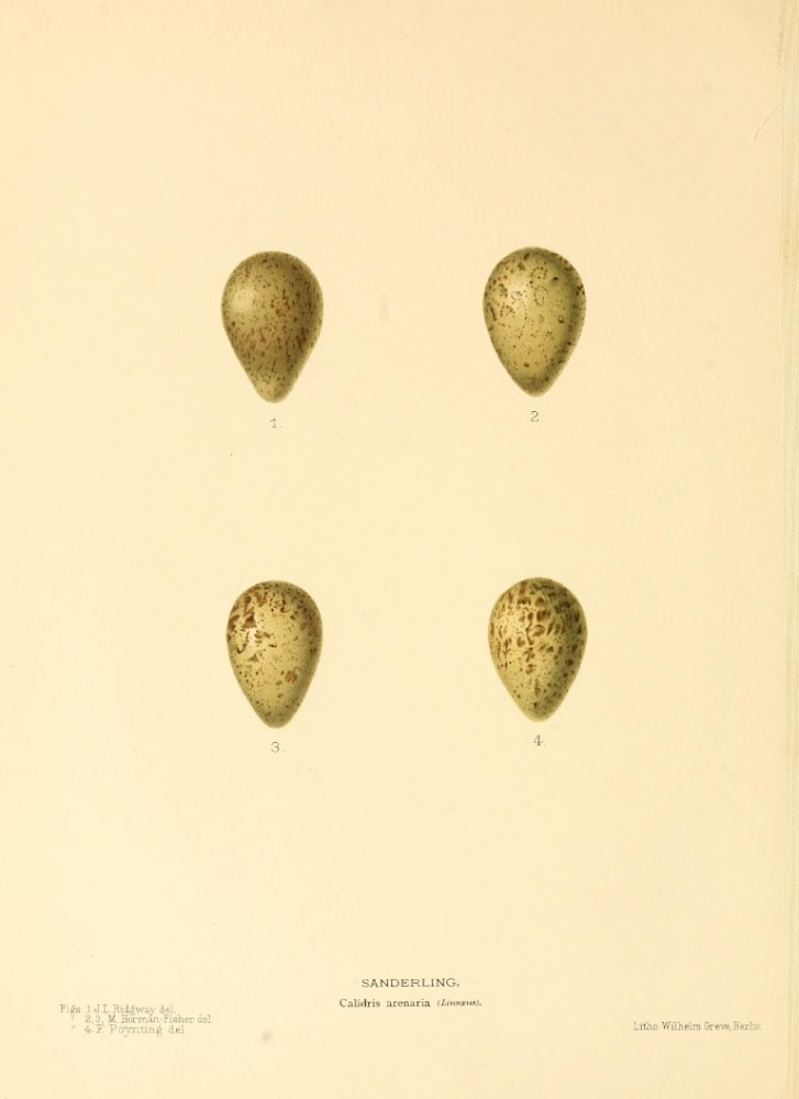 Animal - Bird - Eggs - Eggs of British Birds00 (14)