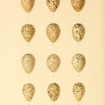 Animal - Bird - Eggs - Eggs of British Birds00 (16)