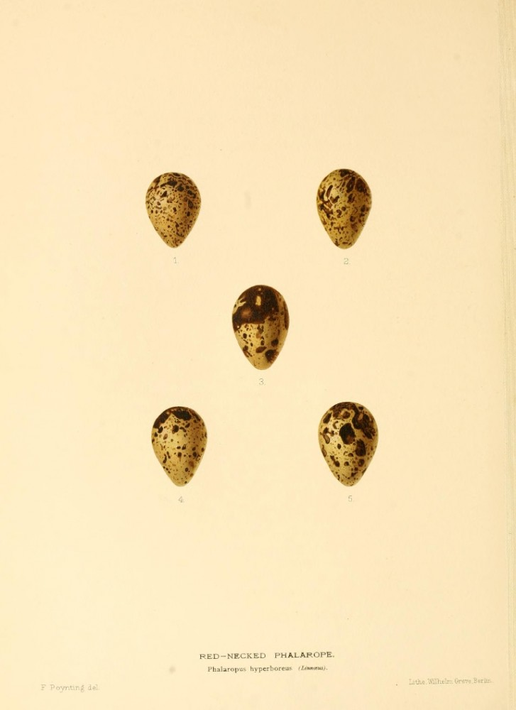 Animal - Bird - Eggs - Eggs of British Birds00 (17)