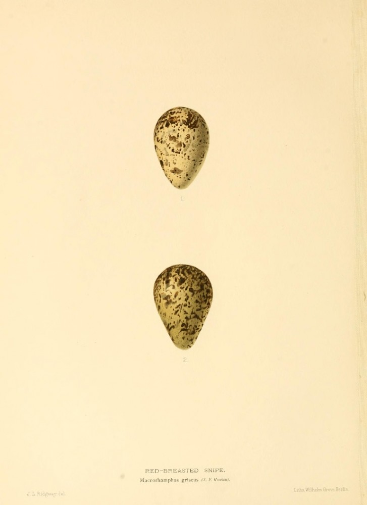 Animal - Bird - Eggs - Eggs of British Birds00 (18)