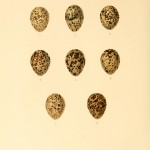 Animal - Bird - Eggs - Eggs of British Birds00 (20)