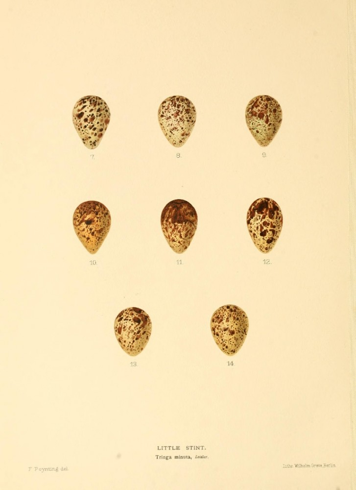 Animal - Bird - Eggs - Eggs of British Birds00 (21)
