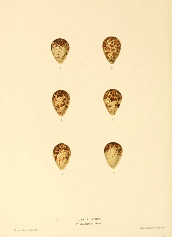 Animal - Bird - Eggs - Eggs of British Birds00 (22)