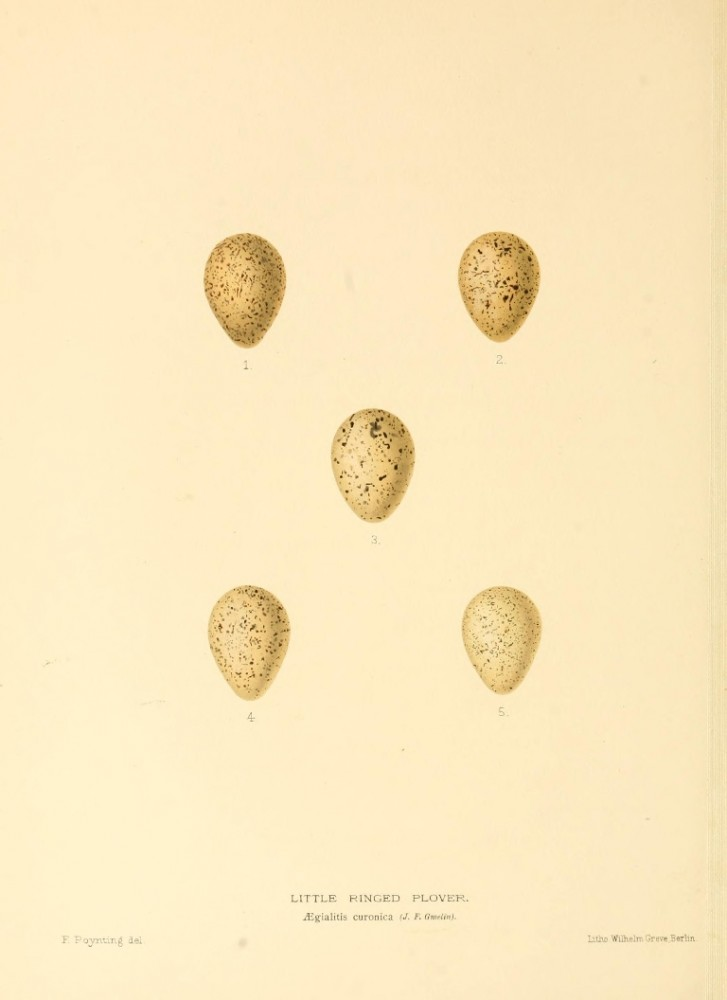 Animal - Bird - Eggs - Eggs of British Birds00 (23)